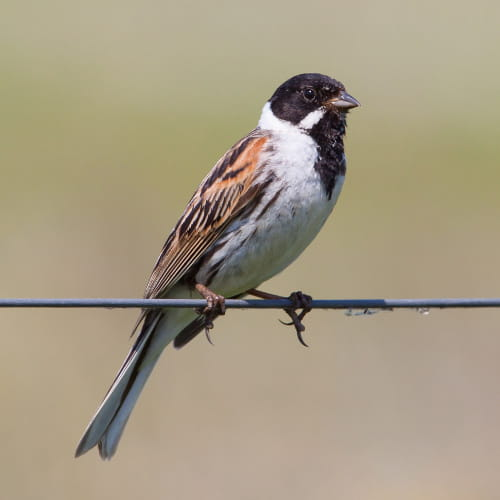 Male-Reed-bunting