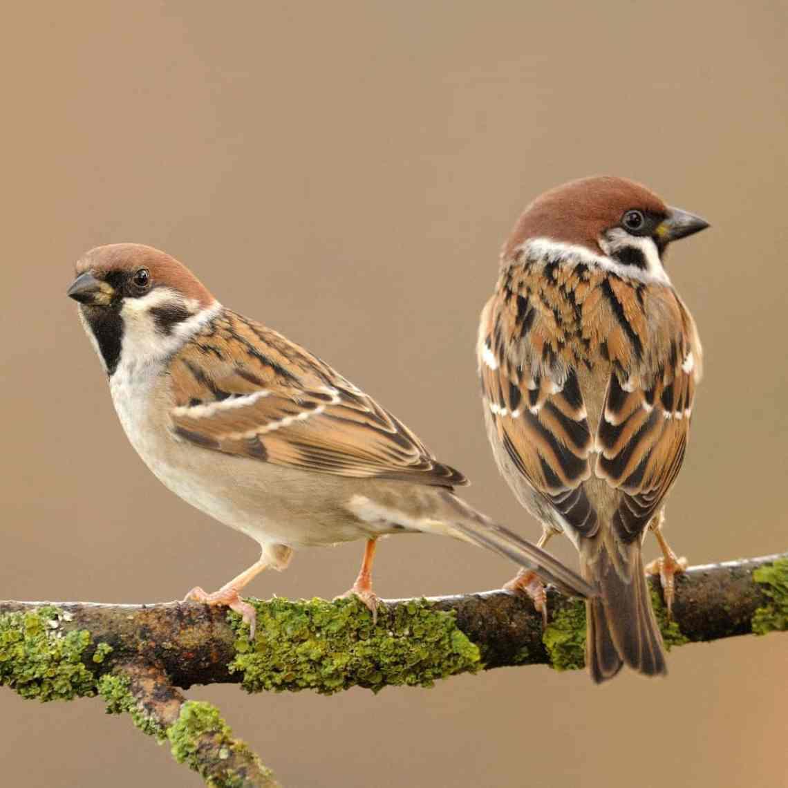 Tree_sparrow.jpg